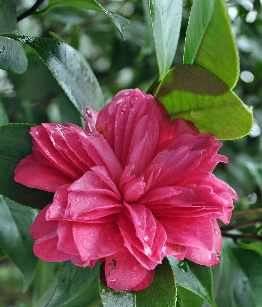 Camellia japonica 'Les Marbury'