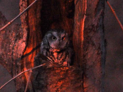 Central Park Screech Owl