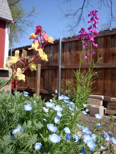 backyard_wildflowers 012