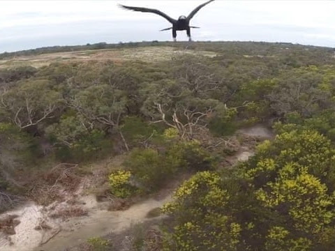 The moment huge Australian eagle punches a drone out of the sky – video