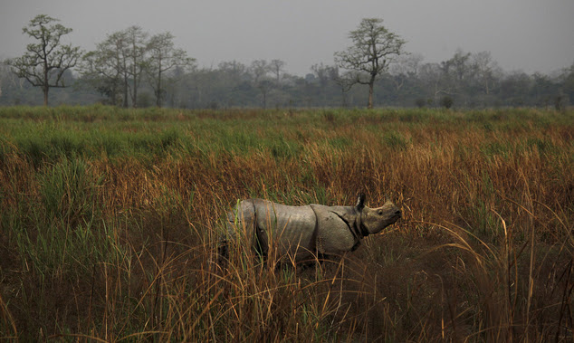 FILE - In this April 9, 2013 file photo, a one horned rhinoceros stands in the Kaziranga National Park in Kaziranga, about 250 kilometers (155 miles) east of...