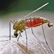 Improved Malaria Test Uses PCR
