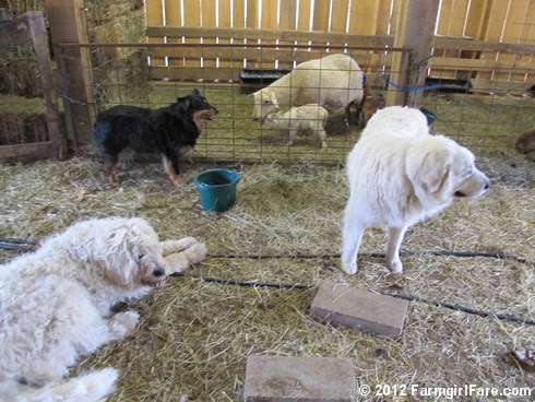 Farm dogs and little lambs 6 - FarmgirlFare.com
