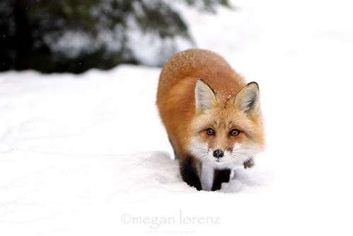 Stealthy Fox by Megan Lorenz
