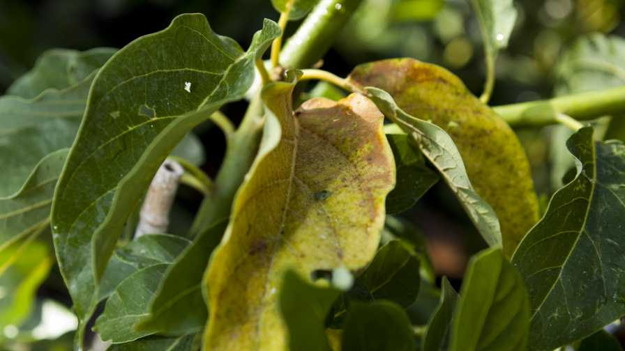 Avocado Tree Killer On The Move In Florida Growing Produce