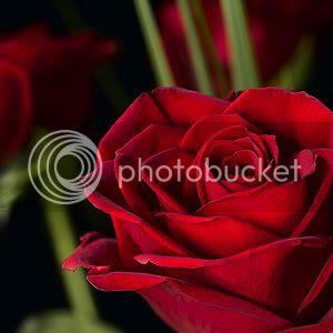 TRUE.rose