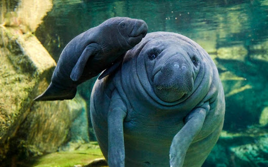 French Zoo Offers Rare Look at Baby Manatee