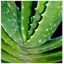 Propiedades medicinales y usos del Aloe Vera o Sábila