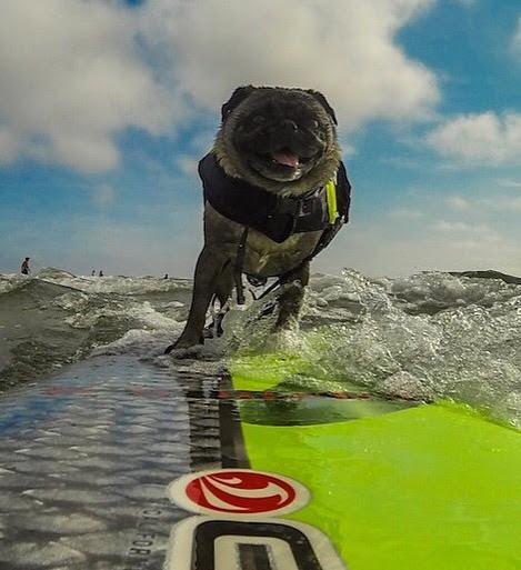 Melody Dorman Google - Brandy the award winning surfing pug