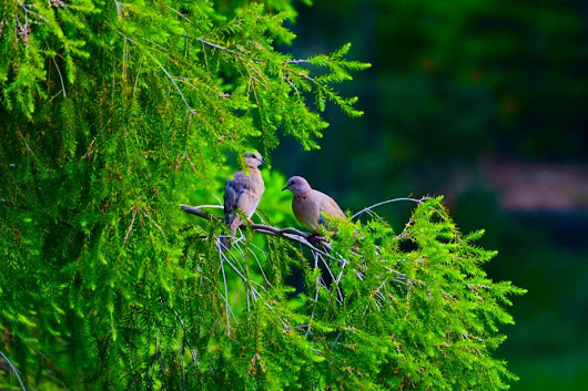 Bird Photography….The Doves