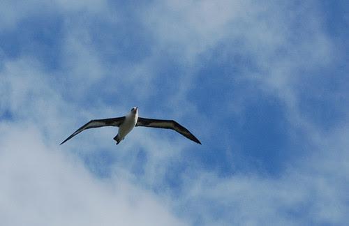 Laysan Albatross-kilauea wildlife refuge.jpg
