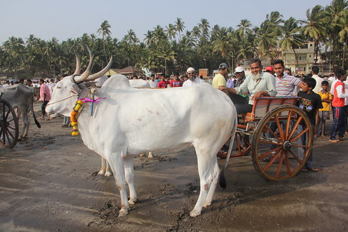 The Warm Up -Murud Janjira Bullock Cart Race Gudi Padwa 2013 by firoze shakir photographerno1