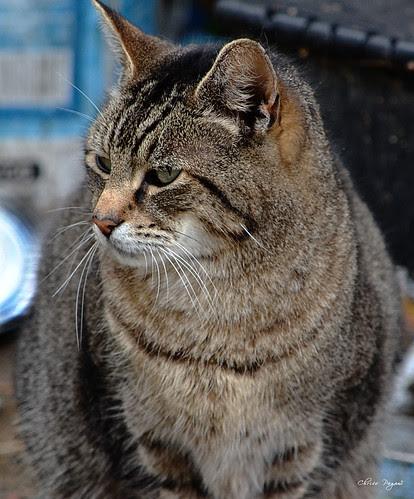 Gizmo Cat, Tabby, Survivor