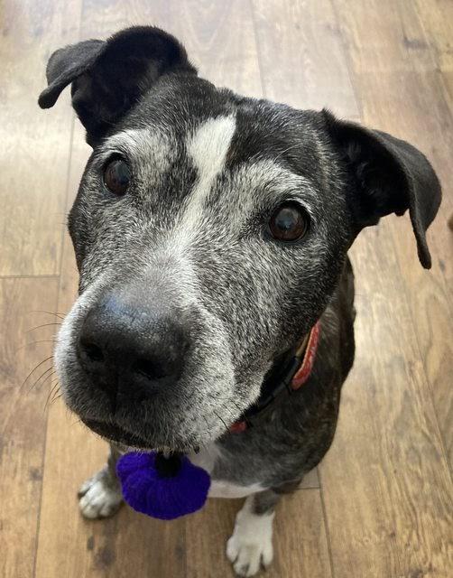 Lola – 11 year old female Staffordshire Bull Terrier Cross
