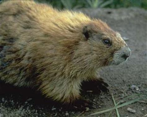 Image Gallery large rodent species