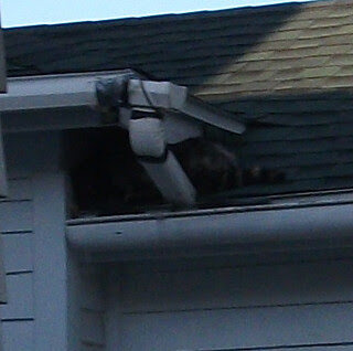 20130512 raccoon hole