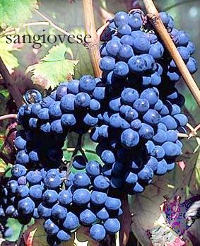 Uva vino sangiovese