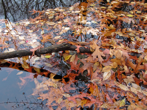 leaves, floating, reflected