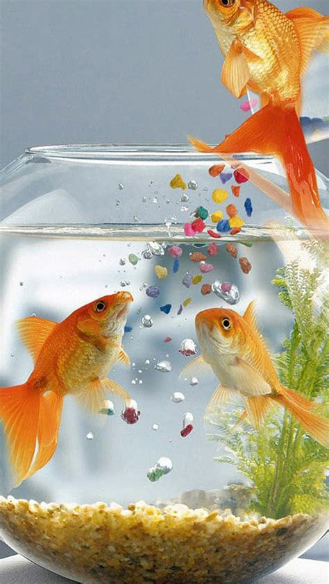 gold fish wallpaper  images