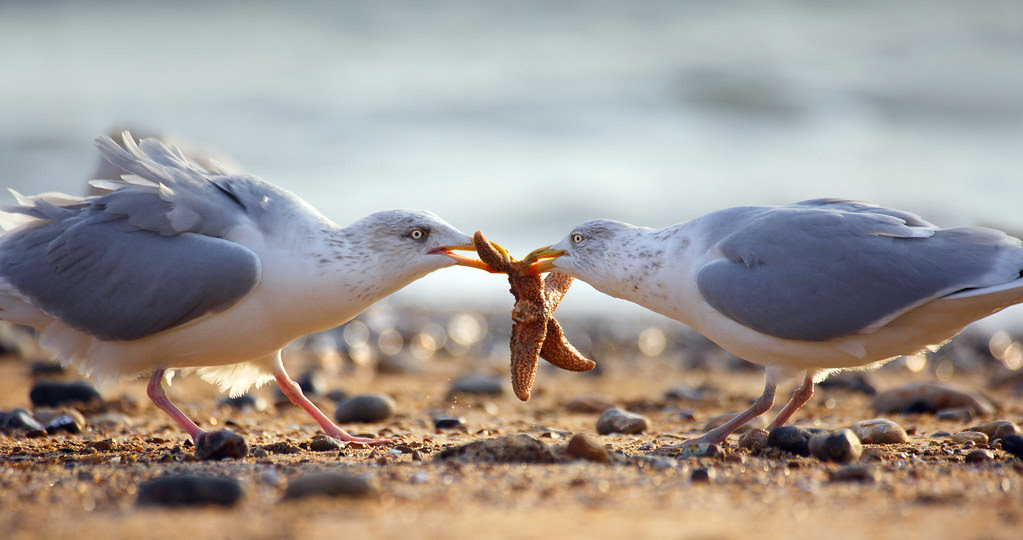 Gulls fighting over a Common Starfish - BEST VIEWED LARGE
