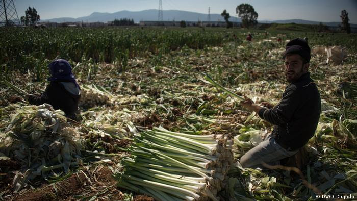 A man and woman at work in a field of leeks