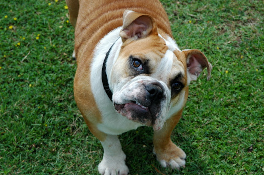 The Lifespan of a Bulldog and How to Ensure Your Dog Reaches Its Maximum Age - BulldogGuide.com