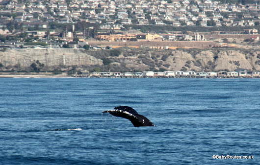 Wildlife Wednesday: Whale Watching at Dana Point, CA - Baby Routes