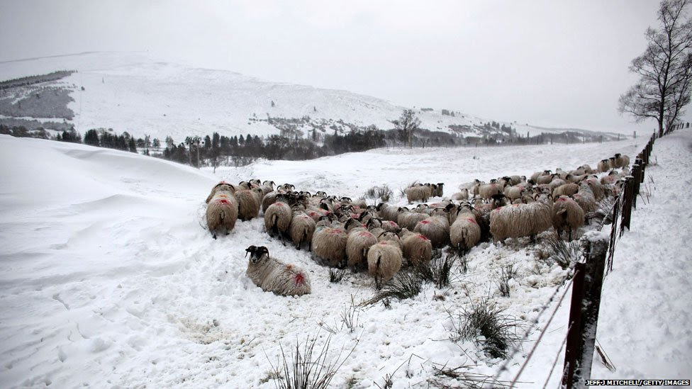 Sheep huddle together in a field near the Spittal of Glenshee, Scotland