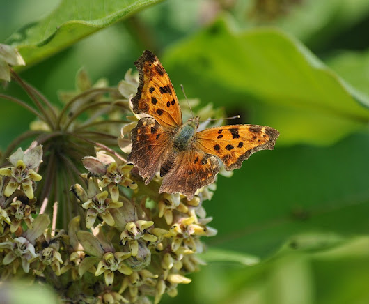 An Eastern Comma Butterfly at Tommy Thompson Park