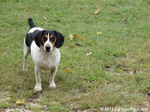 Beagle Bert - FarmgirlFare.com