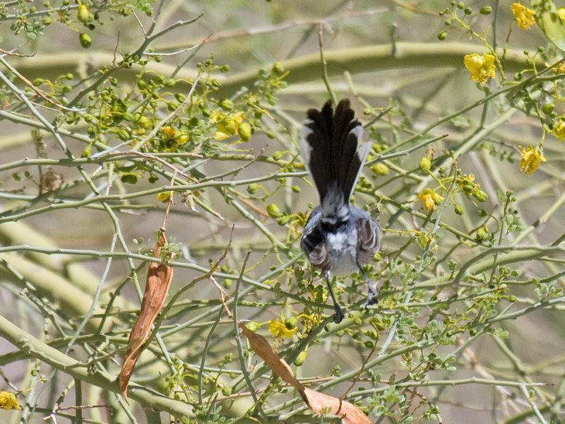 Black-tailed Gnatcatcher under tail