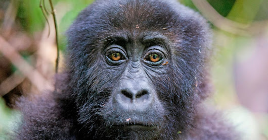 Gorillas massacred and driven to extinction - all for the sake of our mobile phones