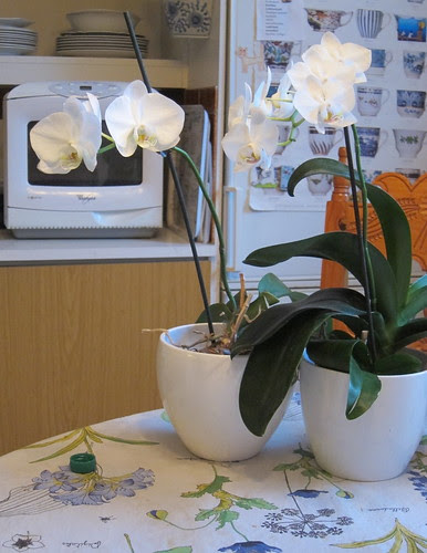 Orchids in the kitchen by Anna Amnell