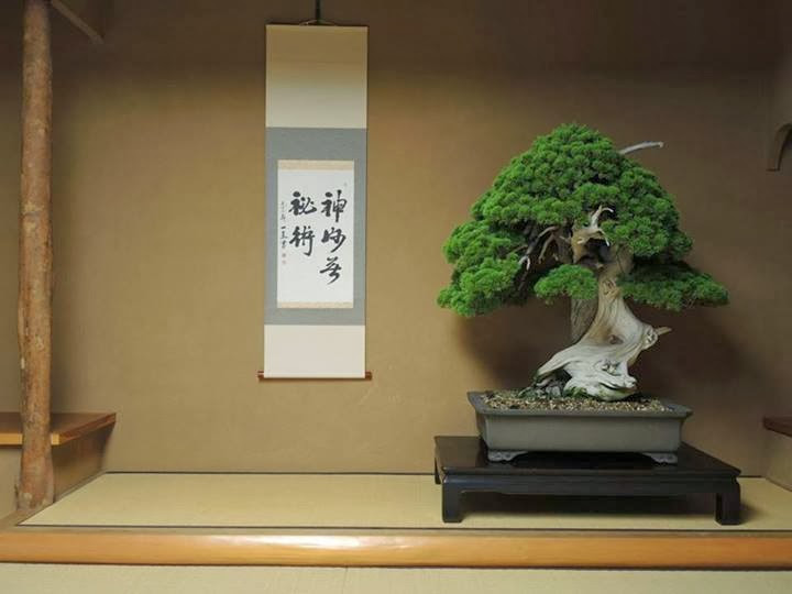 800 year old Bonsai