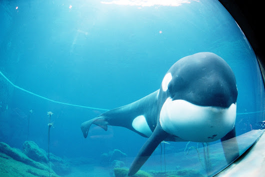 The Next Blackfish? Dutch Court Controls Orca's Fate.
