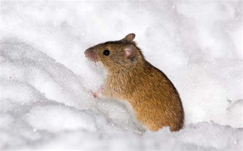 Snow Falling at Your Scottish Home? Watch Out for Mice   Andy Law Pest Control