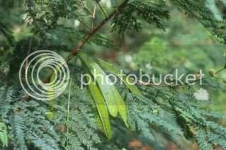 Gambar Petai Belalang (Leucaena Leucocephala)