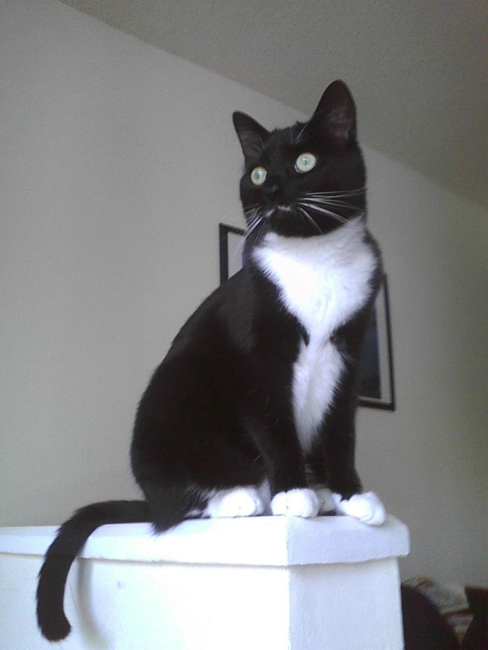 ¿Es Tu Felino Un Gato Tuxedo?