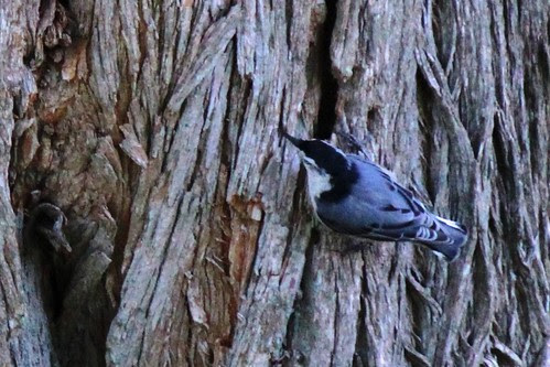 IMG_0908a_White_Breasted_Nuthatch