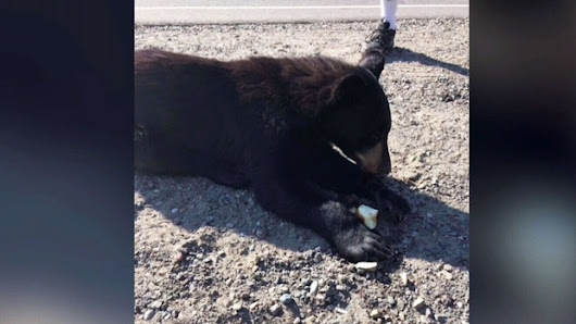 Sudbury police faces backlash after 'dispatching' injured bear cub