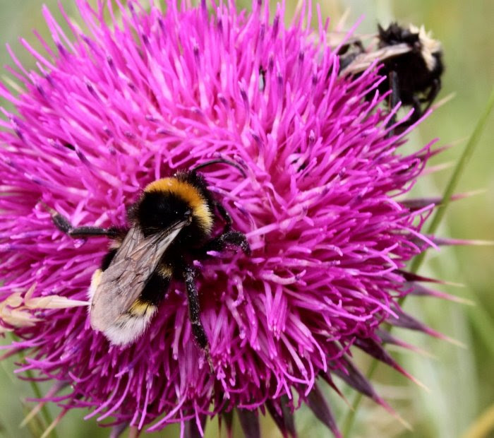 Bees on a thistle...