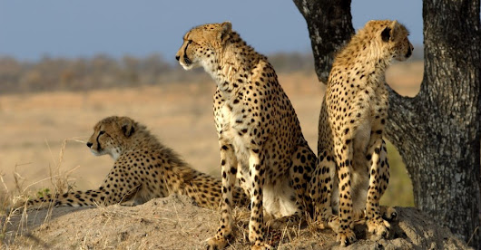 The Woman Who Tweets Cheetahs