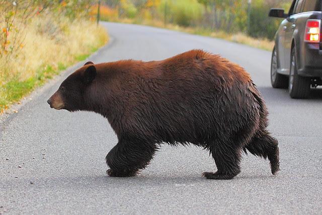 IMG_6937 Black Bear Crossing Moose-Wilson Road, Grand Teton National Park