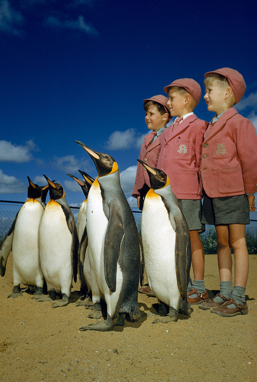 Boys Dressed Up In School Uniforms Pose With King Penguins At The London Zoo, 1953