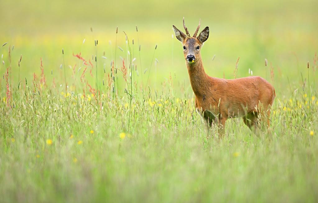 Young Roe Deer Buck