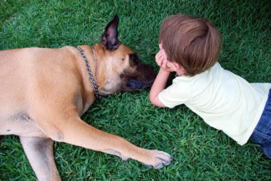 <p>A Coco, una hembra de Bullmastiff de seis años, se le extirpó hace cuatro años un tumor en el ovario y recibió cuatro sesiones de quimioterapia en el Hospital Clínico Veterinario de la UAX. / SINC</p>