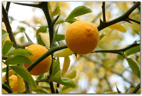 naranjo trébol