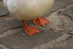 Duck Feet