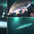 Stricken dolphin who 'asked' Hawaii diver for help: Moment mammal stuck on fishing line pushed itself into scuba instructor and waited patiently to be freed
