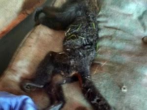 Macaco foi encontrado na casa de uma moradora do Chácaras Ingrid (Foto: Aílton Braz/Vanguarda Repórter)